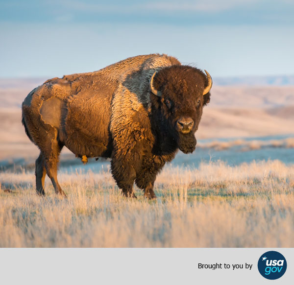 A bison stands in wild nature. Brought to you by USAGov.